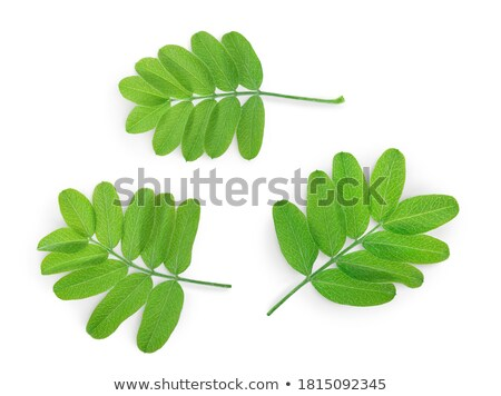 Texture of Acacia leaves. stock photo © Zhukow