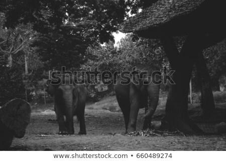 olifant · portret · zwart · wit · afrika · zwarte - stockfoto © bradleyvdw