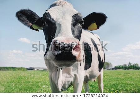 mucca · campo · primo · piano · erba · natura · ritratto - foto d'archivio © arenacreative