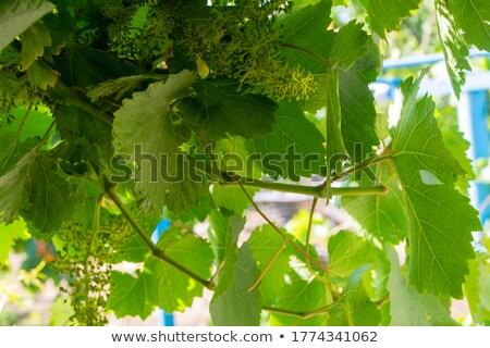 Vineyard under the summer sunset, abstract backgrounds Stock photo © tolokonov