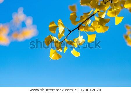 Autumn gingko Stock photo © leungchopan