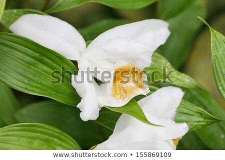 Macro shot of a Sobralia orchid. Sobralia is a genus of about 12 Stock photo © dacasdo