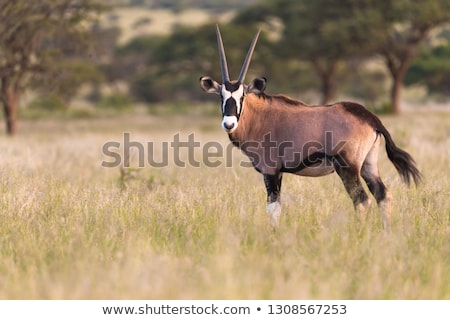 Gemsbok (Oryx gazella) Stock photo © dirkr