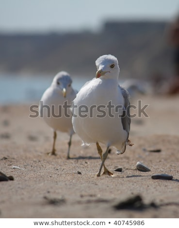 california gull walking at the beach Stock photo © meinzahn