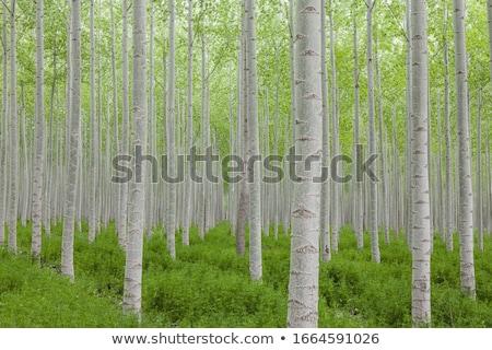 тополь · деревья · осень · осень · пейзаж · красочный - Сток-фото © mayboro1964