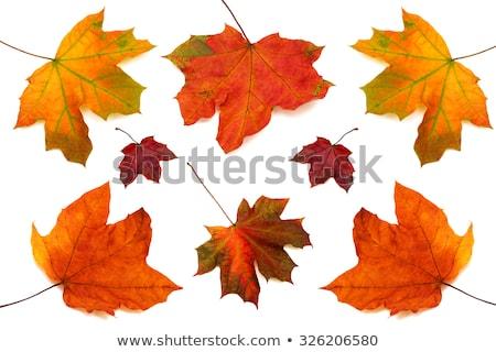 Single yellow autumn leaf isolated on white Stock photo © dla4