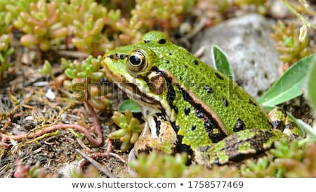 edible frog pelophylax esculentus stock photo © dirkr