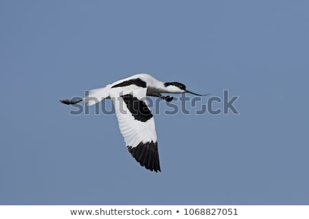 Pied avocet Stock photo © ivonnewierink