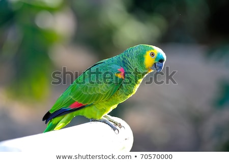 blue fronted amazon parrot stock photo © manfredxy