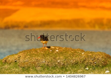 Eggs of the Eurasian oystercatcher Stock photo © Arrxxx