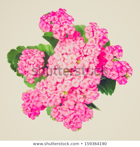 Purple  Kalanchoe / Succulent Stock photo © mroz
