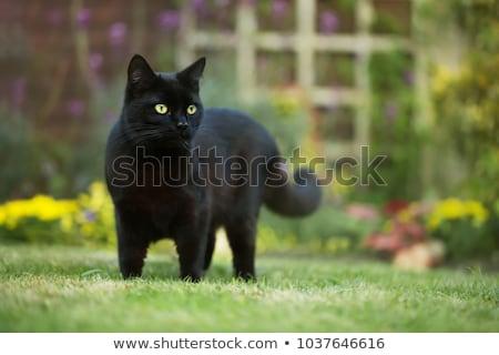 目 黒猫 クローズアップ 顔 1泊 動物 ストックフォト © vlad_star