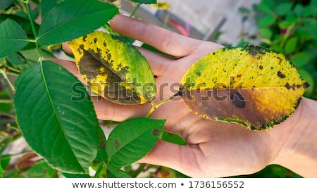 Green leaves of plant with parasites holded by woman hands  Stock photo © deandrobot