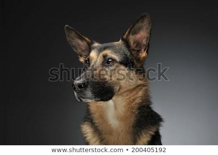 german shepherd portait in the gray studio stock photo © vauvau