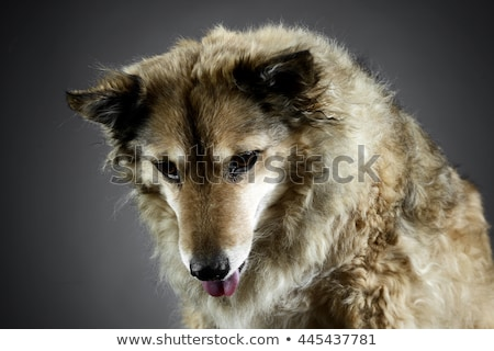 Stock photo: Mixed breed funny dog is relaxing in a dark photo studio