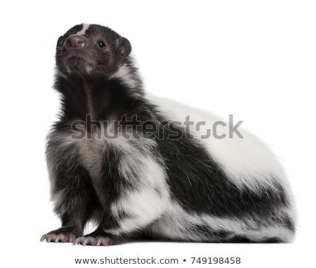 Cute skunks biały ilustracja charakter tle Zdjęcia stock © bluering