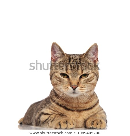 adorable tabby british fold cat lying and looking grumpy Stock photo © feedough