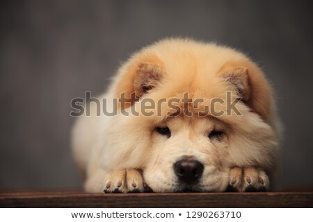 cute chow chow resting on its paws on wooden table Stock photo © feedough