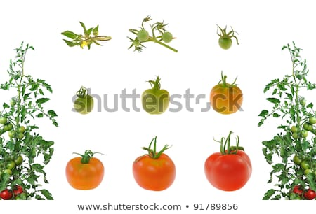 Foto stock: Crescimento · tomates · plantas · isolado · branco · agricultura