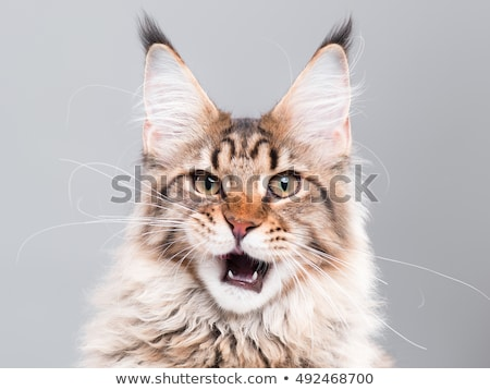 Stock photo: Black tabby Maine Coon kitten on black