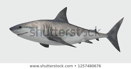 A shark on white background Stock photo © bluering