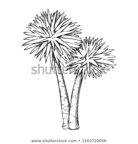 Sabal Palm Exotic Tropical Trees Monochrome Vector Stock photo © pikepicture