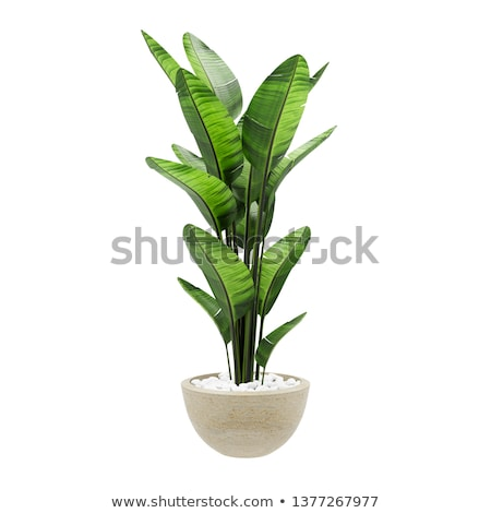 Plant with Big Green Leaves in Pot, Houseplant Stock photo © robuart