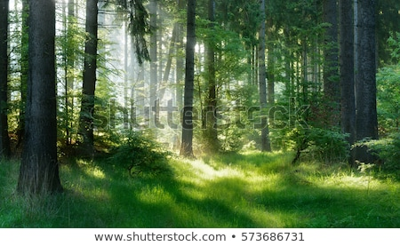 Zdjęcia stock: Mysterious Forest With Fog With Tree In Backlight