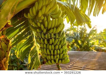 kanarie · bananen · ecologisch · witte · banaan · dessert - stockfoto © luiscar
