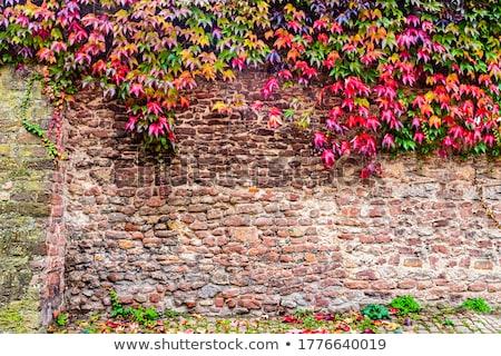 bluszcz · roślin · mur · zielone · rozwój - zdjęcia stock © johnnychaos