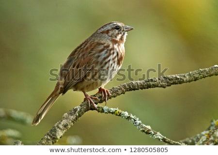 Song Sparrow Stock photo © devon