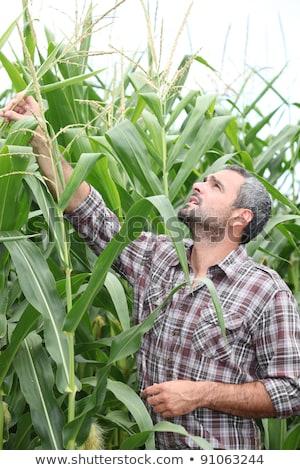 Сток-фото: фермер · стороны · портрет · кукурузы · завода