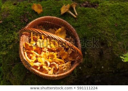 chanterelles on moss Stock photo © thomaseder