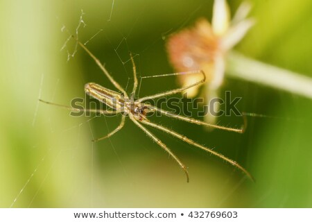 Long-jawed Orb Weaver Stock photo © brm1949