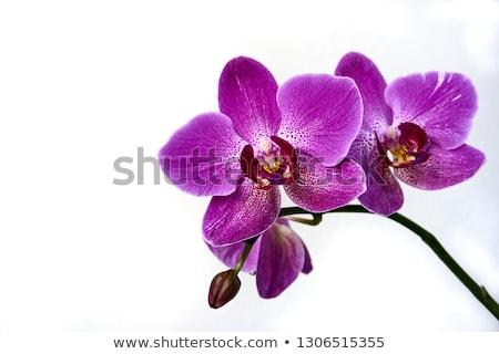 Сток-фото: макроса · белый · фиолетовый · орхидеи · цветы · изолированный