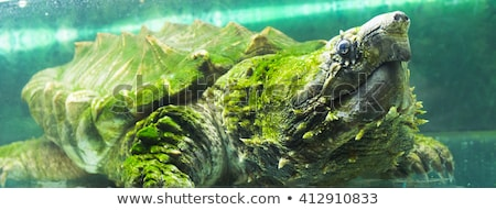 Subaquático tartaruga sessão lagoa tiro cambridge Foto stock © ca2hill