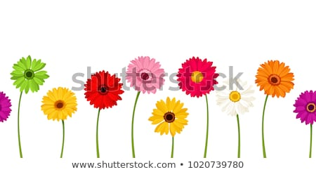 Stock fotó: Purple Pink Yellow Daisy Flowers