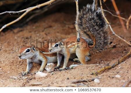southern african ground squirrel xerus inauris stock photo © dirkr