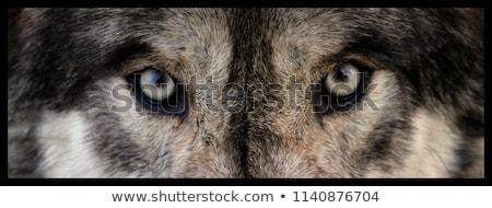 Wolf foto grond ogen Open oog Stockfoto © maros_b