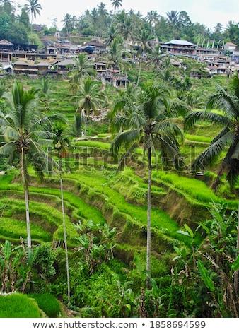 Lush green terraced farmland in Bali Stock photo © juniart