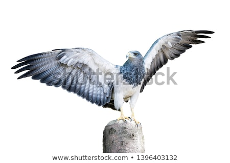 hawk on a tree stump isolated stock photo © oleksandro
