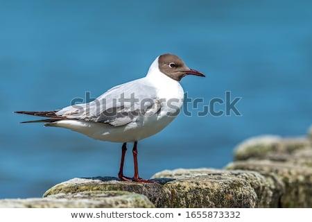 Stock photo: black headed gull in flight