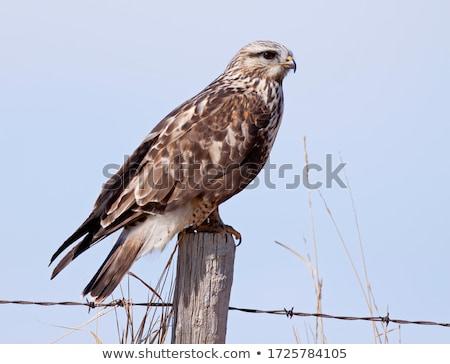 belo · branco · ártico · falcão · pássaro · olho - foto stock © chrisga