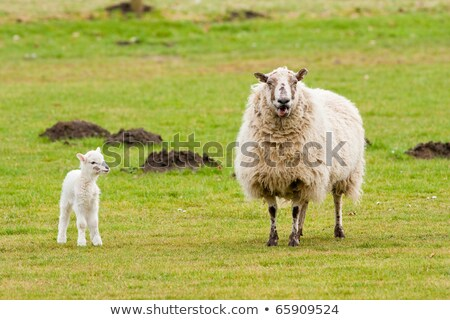 Mother Ewe Bleating With New Born Lamb Looking Stock photo © rekemp