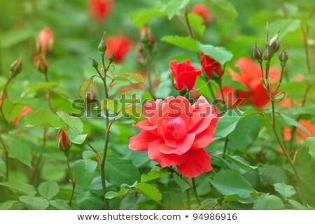 vibrante · aumentó · brote · Bush · Rose · Red · flor - foto stock © juhku