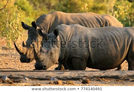 drinking white rhino in the kruger national park stock photo © simoneeman