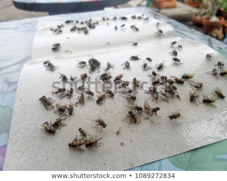 Flies caught on sticky fly paper trap Stock photo © supersaiyan3
