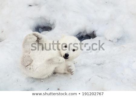 Felice orso polare famiglia baby amore natura Foto d'archivio © jawa123
