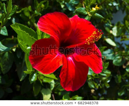 A red hibiscus plant Stock photo © bluering