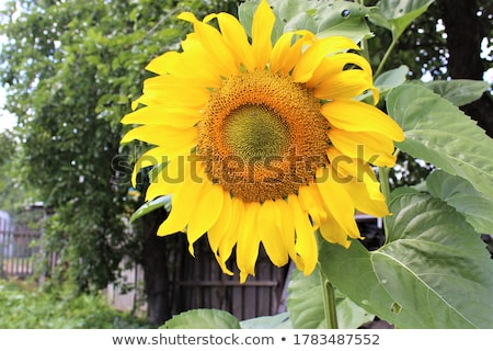 sunflower in the garden stock photo © bluering